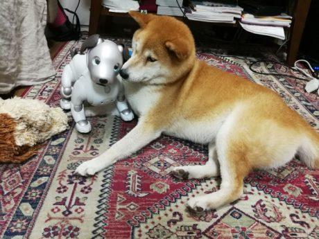 柴犬が、aiboを自分の下の存在として順位付け。